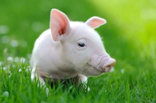 属猪人运程揭秘