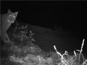 罕见 中国本土已知12种野生猫科动物 甘孜新龙已确认有7种