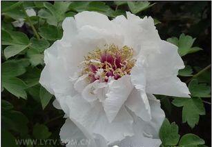 罕见 世界最全的80种牡丹,花开献富贵,祝福送给你