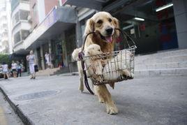 主人让狗爸爸叼着狗崽子去卖 太残忍了吧
