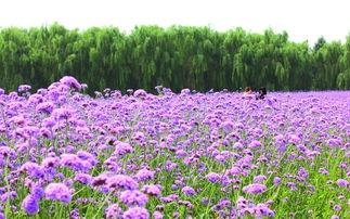 梦幻紫薯馒头