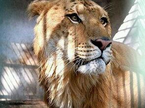 此只狮虎兽引进自安徽安庆,目前已三岁,这是狮虎兽首次亮相江西.