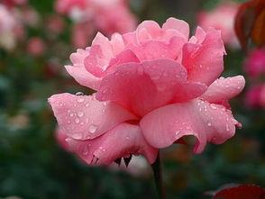 开心果皮能养花吗
