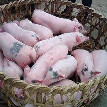 """013养猪成本和利润(养鸭1000只利润和成本)"""""""