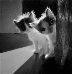 黑白小萌猫 喵 o ω m