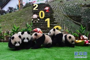 太可爱了 大熊猫宝宝集体 卖萌