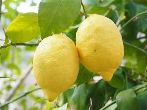 柠檬多少钱一斤 有什么功效和作用 怎么做柠檬蜂蜜水
