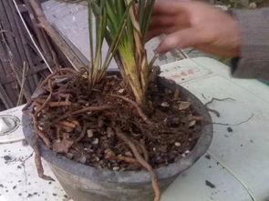 养花根怎么处理