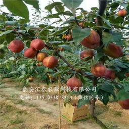 3公分库尔勒香梨梨苗批发价格湘潭库尔勒香梨梨苗