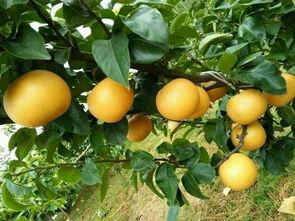 浙江梨苗种植基地