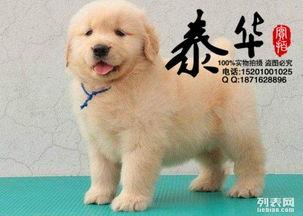 出售纯种金毛幼犬 纯种金毛多少钱