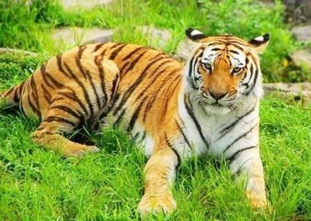 老虎的桃花运好不好
