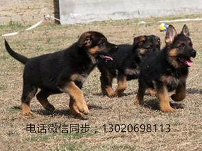 纯种德国牧羊犬价格多少钱一只