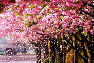 描写樱花关于爱情的诗句