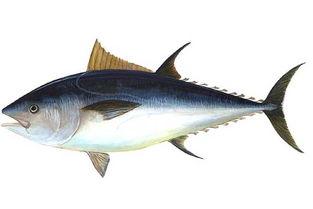 红烧金枪鱼的做法