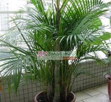 散尾竹(最耐阴的十大室内植物)