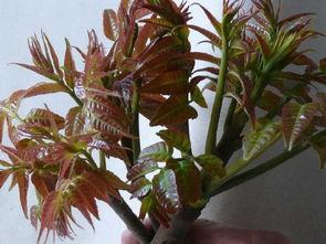定西 香椿苗种植管理