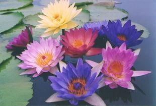 九品香水莲花