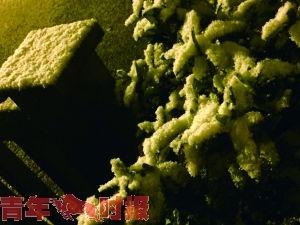 龙井茶下雪