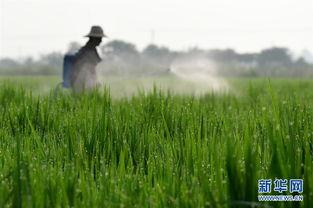 8月2日,安徽省肥西县丰乐镇三里村农民在水稻田间喷洒农药。