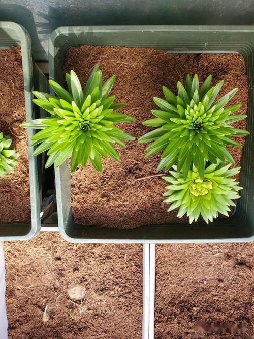 砖头粒可以养花吗