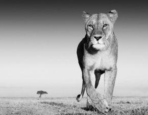不一样的拍摄角度 黑白展现野生动物力量