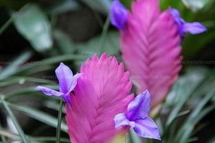 经验分享 铁兰花的养殖方法详解