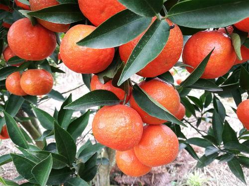 最全柑橘产地,品种大全  特早熟柑桔那个品种好