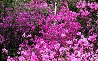 小兴安岭春天的景物_小兴安岭的春天