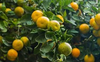 橘子皮养花怎么样