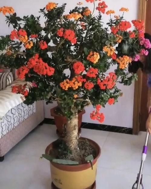 逆天丨长寿花和玉树合体,开出5种颜色的花,太惊艳了!  和玉树相似的植物图