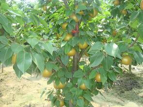 太和县香椿苗价格 红油香椿苗种植基地