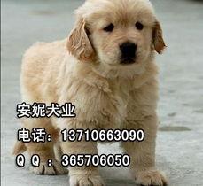 金毛犬多少钱
