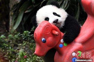 萌化了 大熊猫宝宝卖萌耍宝