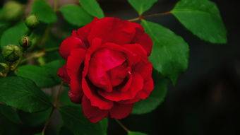 红蔷薇(红蔷薇)
