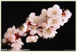 百花园 107 杏 花