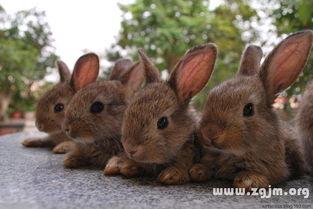 梦见很多兔子