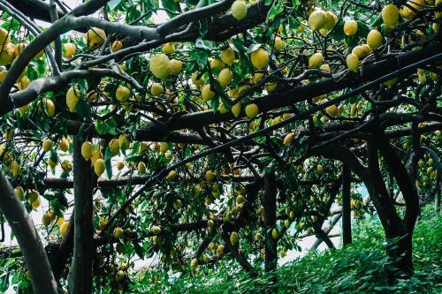 柠檬树有刺风水禁忌