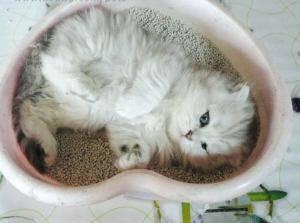 怀孕的猫咪拉不出屎怎么办
