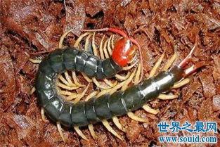 世界上最大的蜈蚣,你能想象它吃掉一只老鼠的样子吗