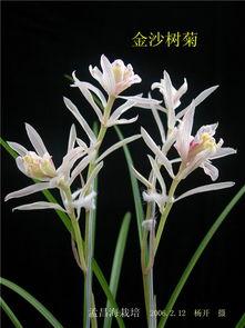 特金奖 金沙树菊