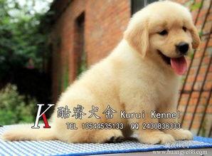【佛山哪里有卖金毛犬出售2-4月龄金毛幼犬】-黄页88网