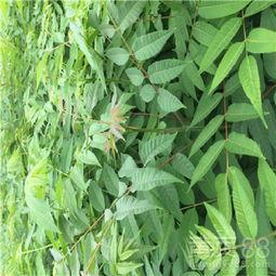 【组培香椿苗、种植基地】- 黄页88网