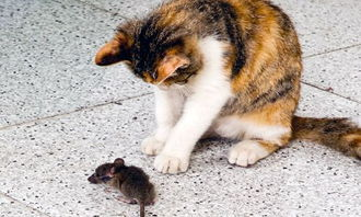 猫捉老鼠作文200字