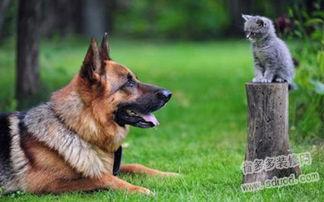 德国牧羊犬多少钱一只 黑贝养护知识