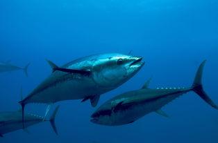 蓝鳍金枪鱼 Thunnus maccoyii
