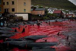 血染的海湾 屠鲸