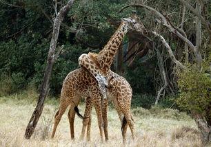 非洲大陆狂野的动物世界