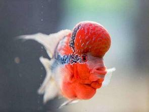 养罗汉鱼对身体健康风水