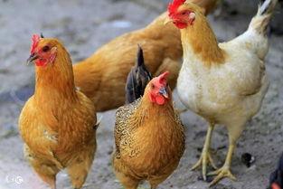 书面中一只鸡还是一羽鸡